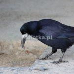 Ptak gawron